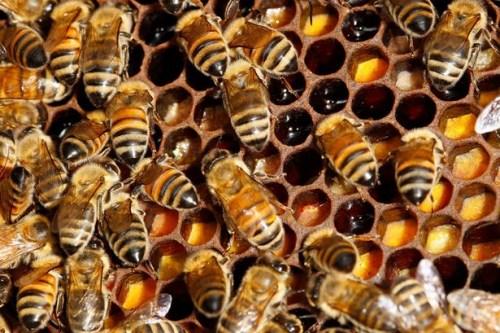 【惊呆】12万只蜜蜂藏卧室天花板 现场画面!