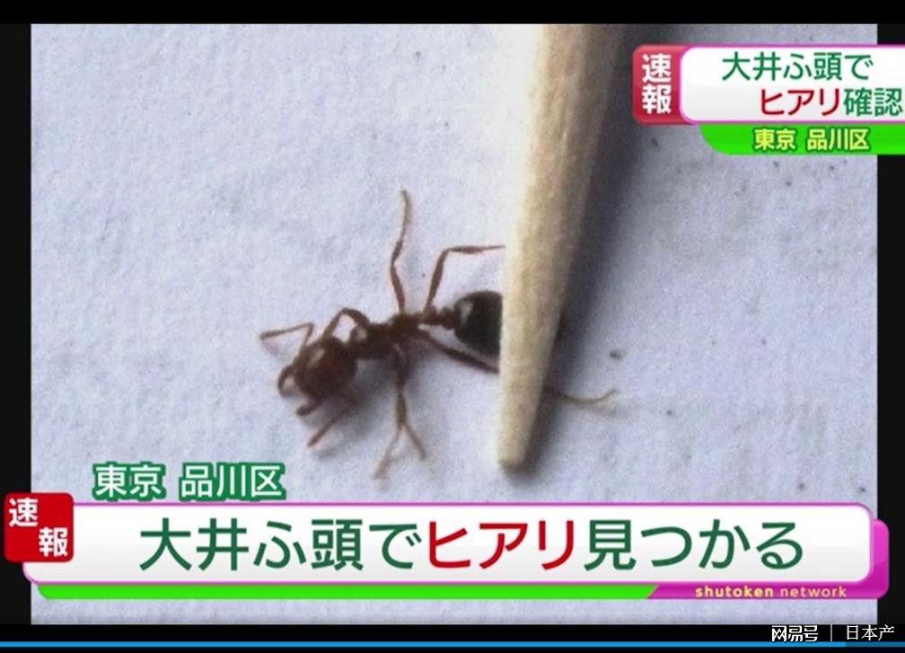 东京港再现100多只南美红火蚁  真的很可怕!