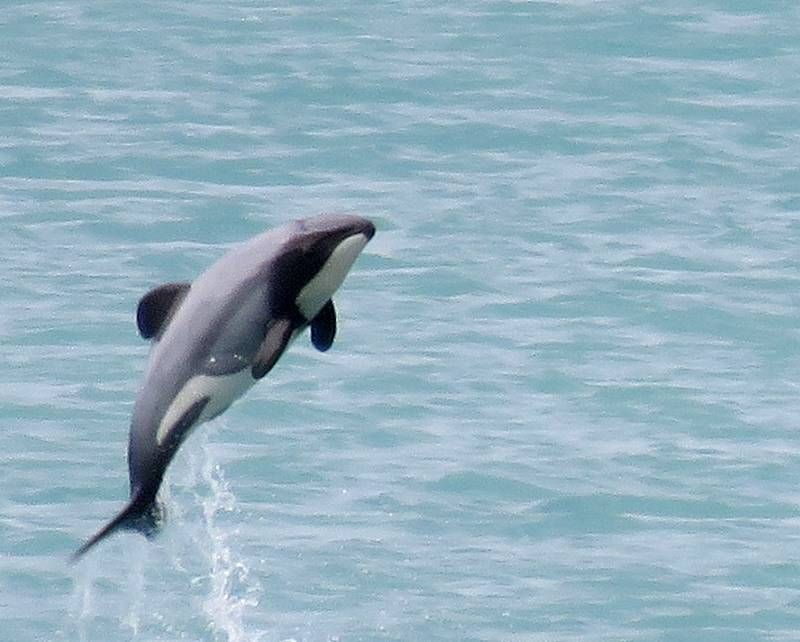以科研之名 日本再捕杀333头小须鲸满载而归