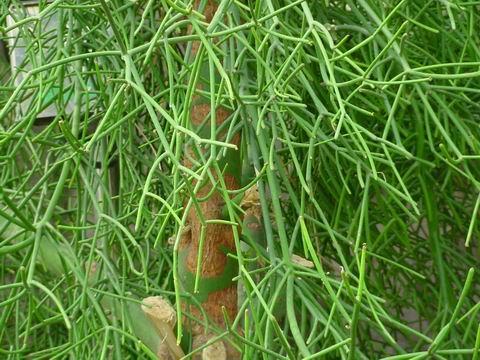 光棍树没有叶子乳汁有毒  光棍树的资料 !