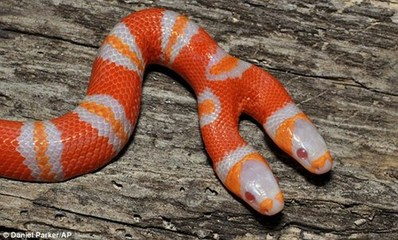 美科学家发现双头白化蛇!