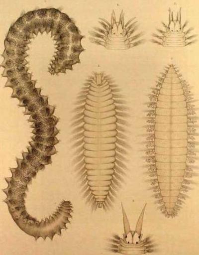 世界上最恐怖的死亡蠕虫 毒液致命!