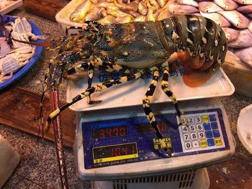 渔民捕获七彩神虾  或价值数万