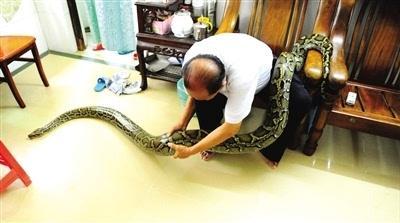 老人与蟒蛇同吃同住   成伴侣