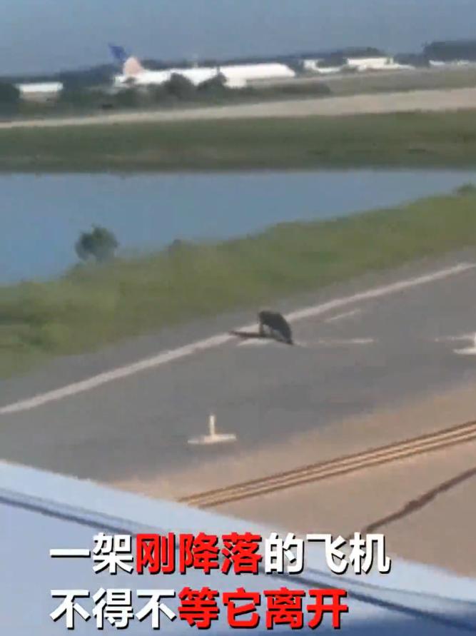 飞机跑道惊现鳄鱼  奇怪!