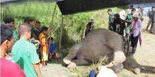 大象离奇身亡 凶手竟然是这小东西!
