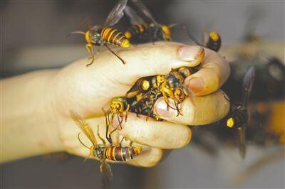兄弟驯蜂年入百万  网友称驯蜂兄弟