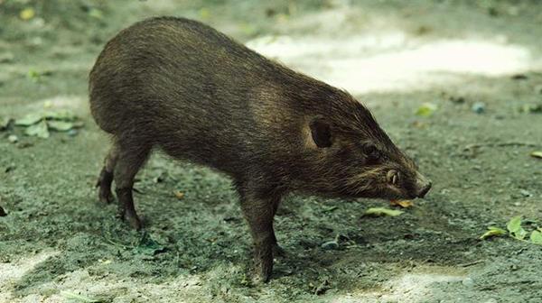 世界体型最小最罕见的侏儒猪