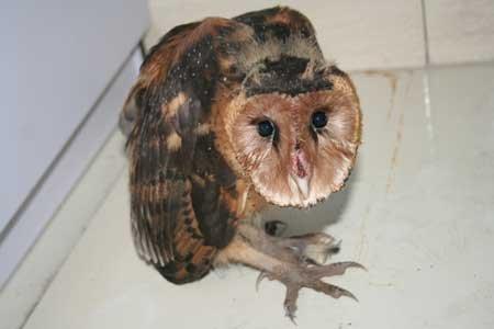 救助折翼猴面鹰  警民爱心救助
