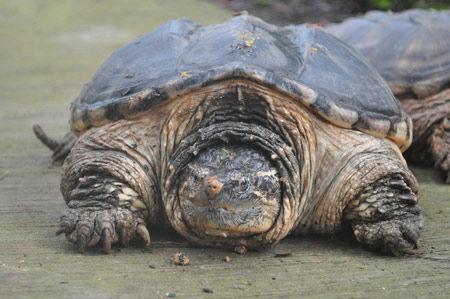 八旬老汉菜地里捡到大龟 专家为什么建议吃掉?