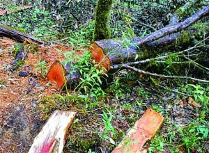 泸州男子砍2棵红豆杉做炊具 被判刑!