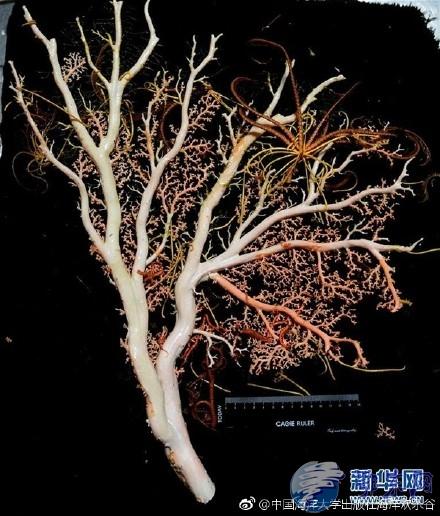 """""""科学""""号科考船考察队海山发现珊瑚林"""