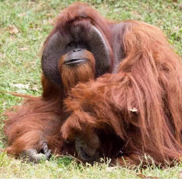 世界唯一大学毕业的猩猩去世!