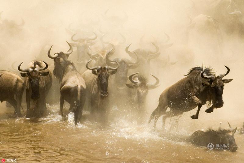 肯尼亚角马大迁徙 角马大规模迁徙现场画面!