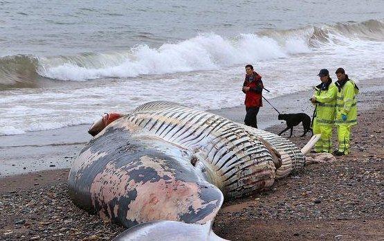 死鲸鱼爆炸 鲸鱼爆炸的威力有多大?