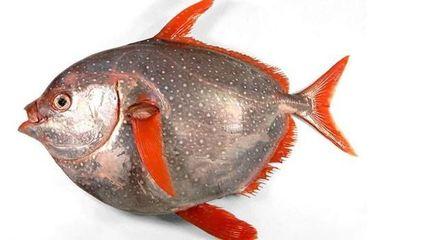 浙江现200斤月亮鱼 比中彩票还难