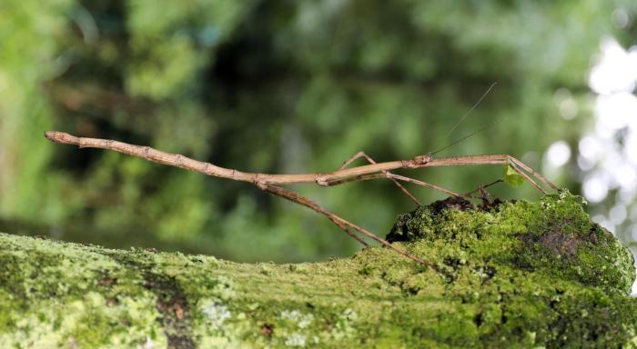 55厘米长巨竹节虫,超大!