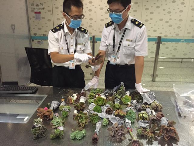 机场截获植物种苗  可能成为入侵物种!