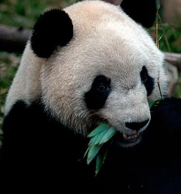 大熊猫妮妮产再一对龙凤胎!