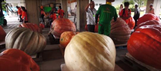 超级南瓜重量超800斤!