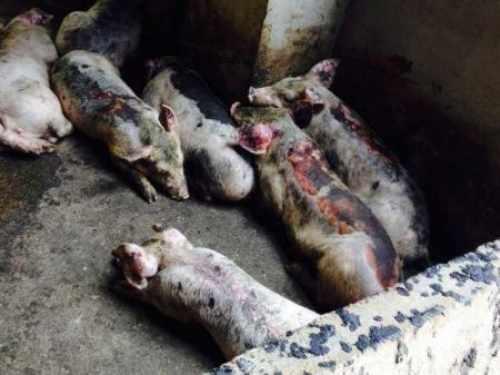 大妈170头猪被烧死 如何还债?大妈170头猪被烧死